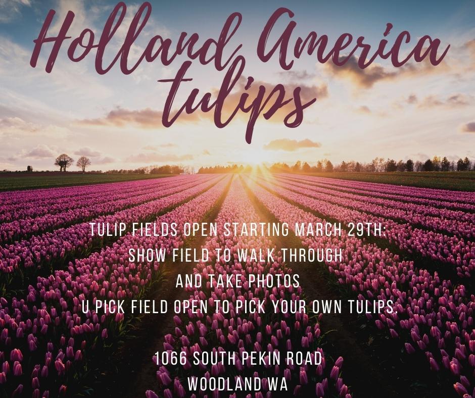 Holland America Tulips